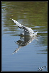 Mouette rieuse - Crash