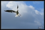 Mouette agression